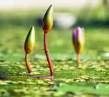 water-lilies-1388690_640